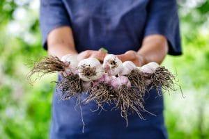 Jak sadzić czosnek