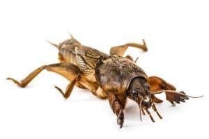 Turkuć podjadek owad