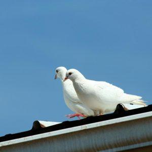 Jak sie pozbyć gołębi z balkonu