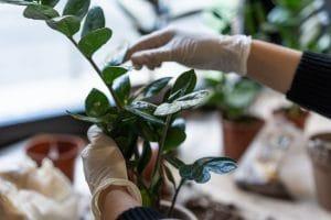 Pielęgnacja roślin doniczkowych