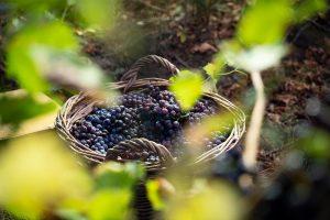 Zbiór winogron