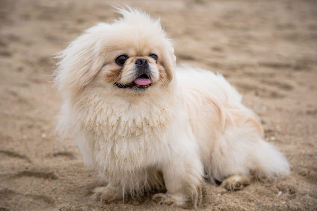 Pies pekińczyk na piasku